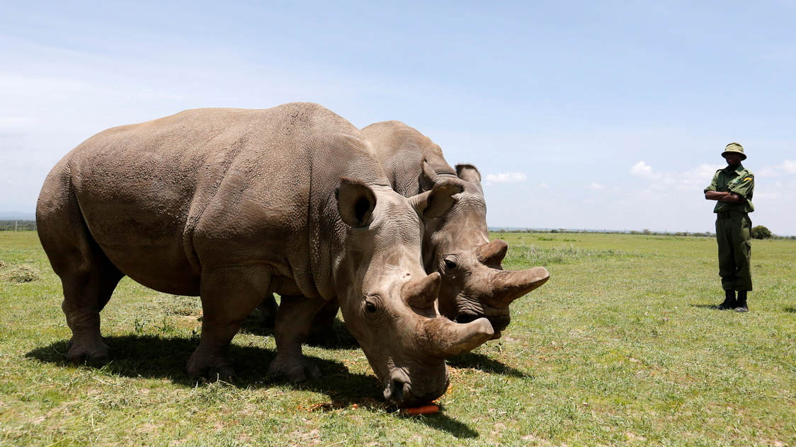 1 of world's last 2 northern white rhinos dropped from race to save the species