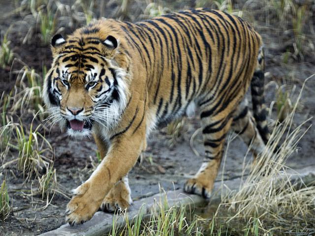Indonesia arrests men accused of poaching Sumatran tigers