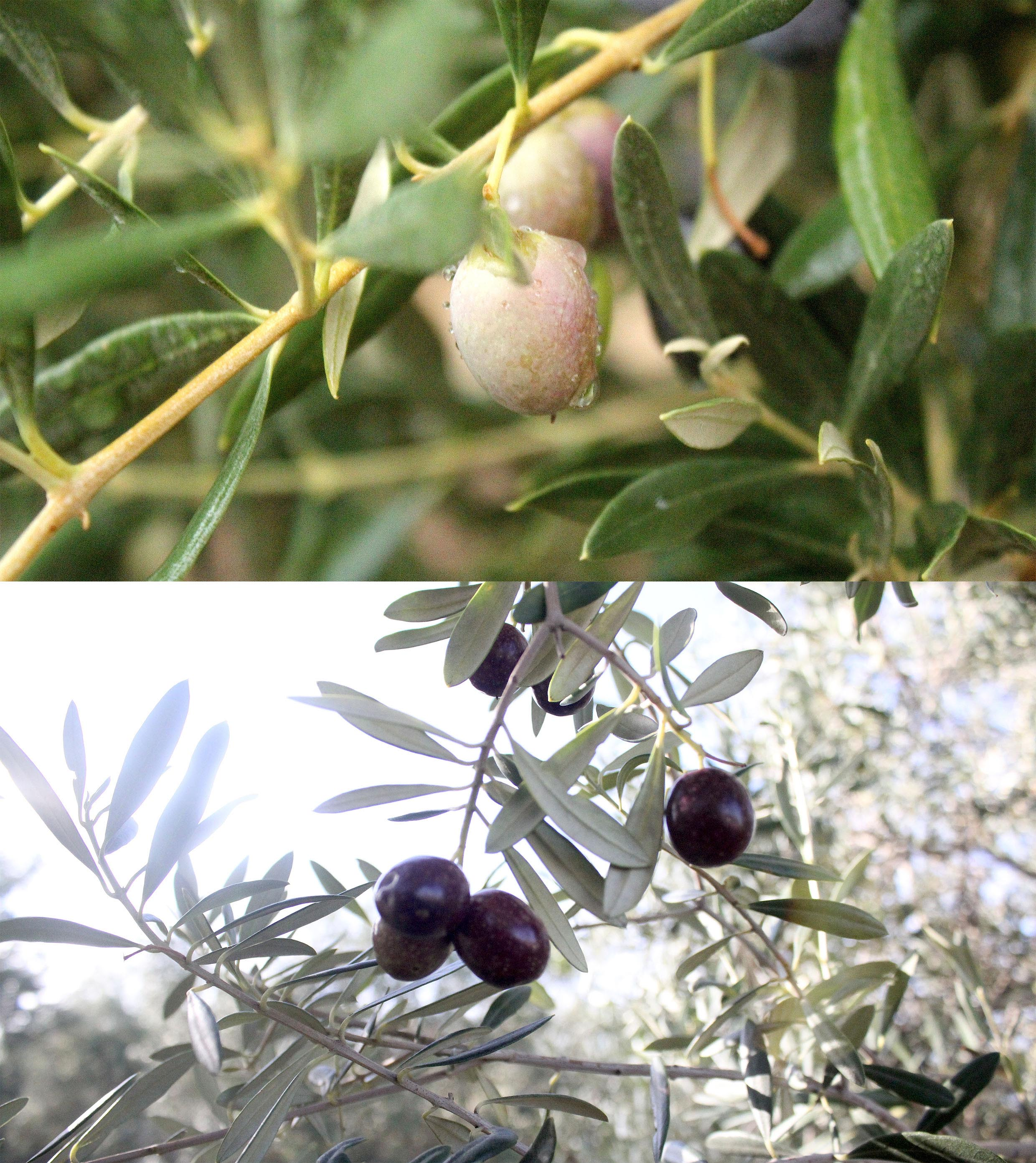 OLIVE FRUITS IN SPAIN.